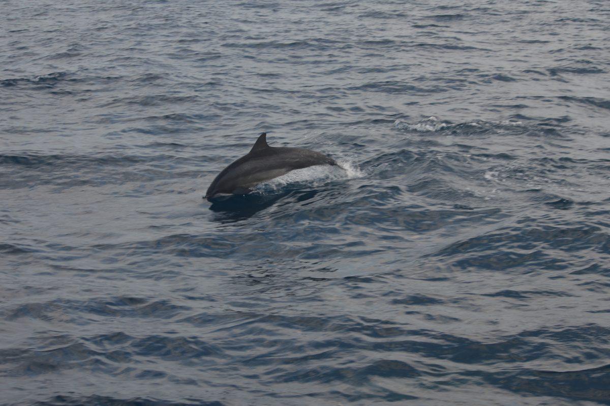 Dolfijnen bij tour blauwe vinvis Sri Lanka