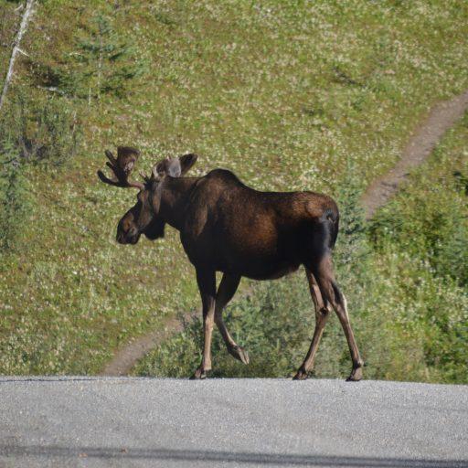 Waanzinnig wildlife in West-Canada