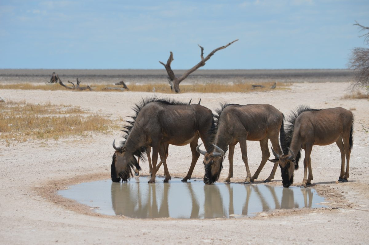 Gnoes in Etosha National Park